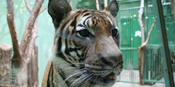 Tygr v ZOO Praha
